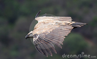 Cape Griffen Vulture