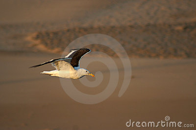 Cape Gull