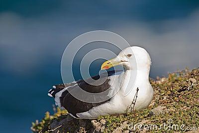 Cape gull (larus vetula)