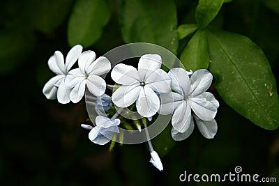 Cape leadwort (Plumbago auriculata), close-up