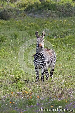 Free Cape Mountain Zebra Amongst Spring Flowers Royalty Free Stock Photo - 36821435