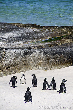 Cape penguins on Boulders beach