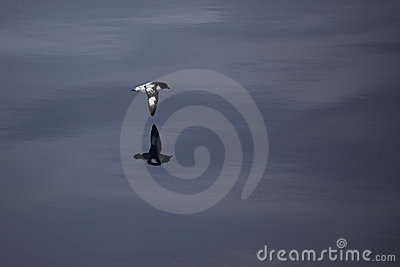 Cape petrel, Drake Passage, Antarctic