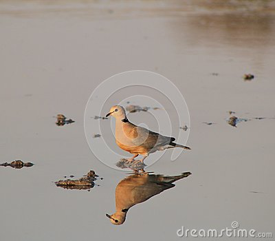 Cape Turtle Dove - African Gamebird and Reflection