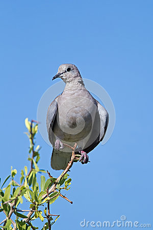 Cape Turtle-dove perched on twig