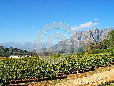Cape Vineyard Stellenbosch S.Africa