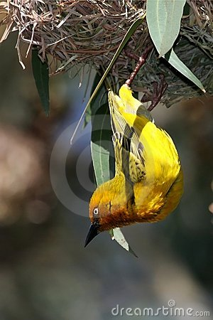 Free Cape Weaver Bird And Nest Royalty Free Stock Photos - 10655188
