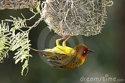 Cape Weaver Bird and Nest