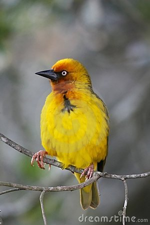 Free Cape Weaver Bird Portrait Royalty Free Stock Image - 6217906
