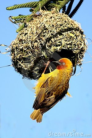 Free Cape Weaver Male At Nest Royalty Free Stock Photography - 3032827