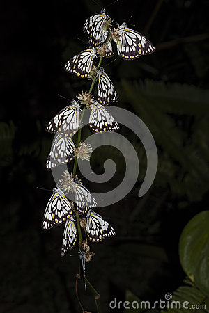 Free Caper White Butterfly At Night Royalty Free Stock Image - 94826396