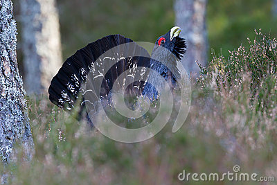 Capercaillie Tetrao urogallus adult male display
