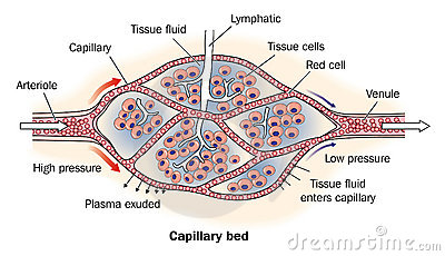 Capillary bed labeled