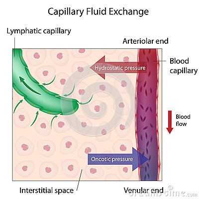 Free Capillary Fluid Exchange Stock Photography - 27538532