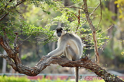 Capped Langur monkey in tree