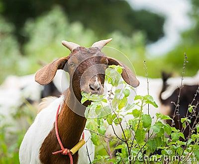 Capra che mangia erba