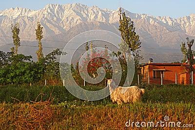 Capricorn Aries Mountain Goat in Indian Himalayas