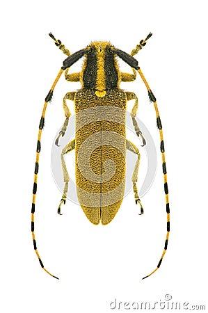 Capricorn beetle Agapanthia kirbyi
