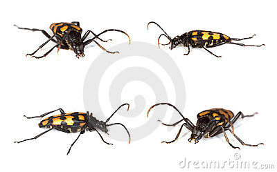 Capricorn beetle (Anastrangalia quadrifasciata)