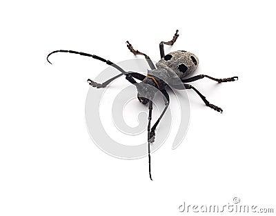Capricorn beetle isolated