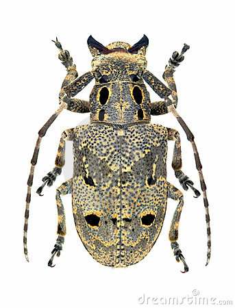 Capricorn beetle Mesosa curculionoides