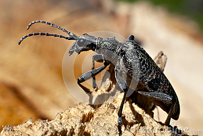Capricorn beetle Rhagium inquisitor rugipenne