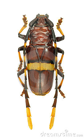 Capricorn beetle Trachyderes succinctus