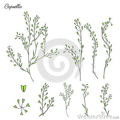 Capsella flower, Shepherd`s purse, Capsella bursa-pastoris, the entire plant, hand drawn graphic vector colorful Vector Illustration