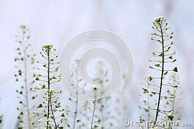 Capsella flowers