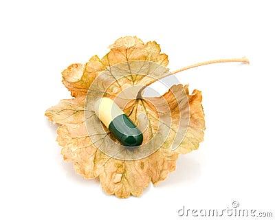 Capsule on a dry leaf.