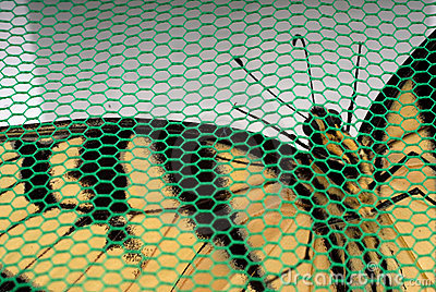 Captive butterfly