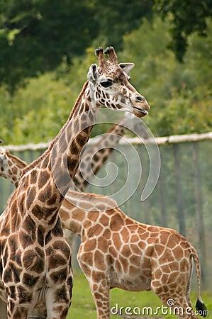 Captive giraffes