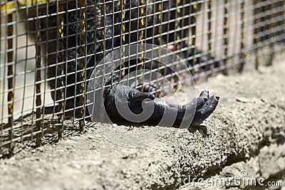 Captive gorilla