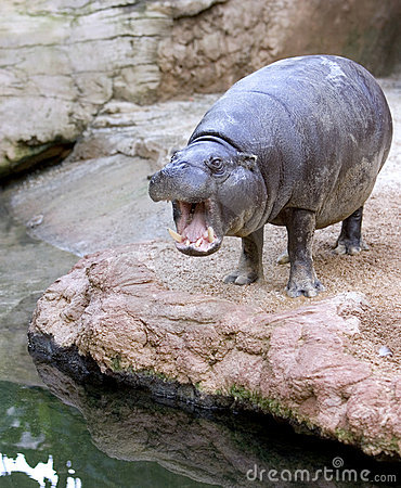 Captive Hippopotamus yawning or roaring in a Spanish zoo