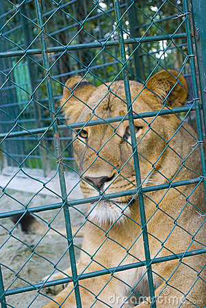 A captive lioness in a zoo