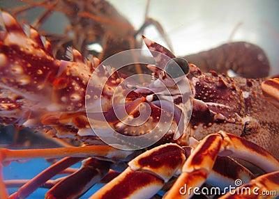 Captive lobsters closeup