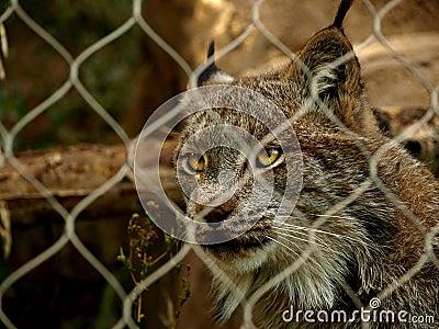 Captive Lynx