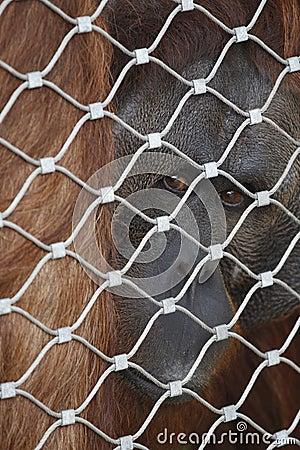 Captive orangutan portrait