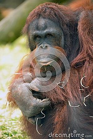 Captive Orangutang