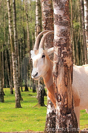 Captive roan antelope
