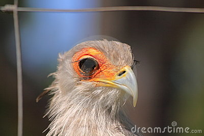 Captive secretary bird