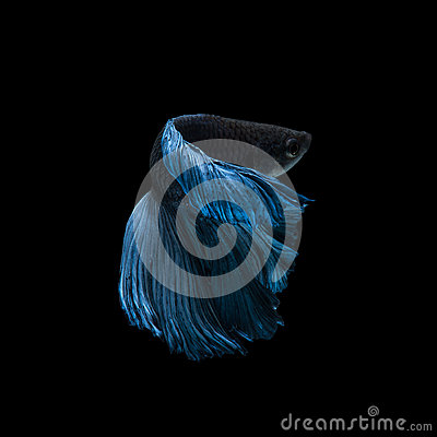 Free Capture The Moving Moment Of Blue Siamese Fighting Fish Stock Photo - 58018910