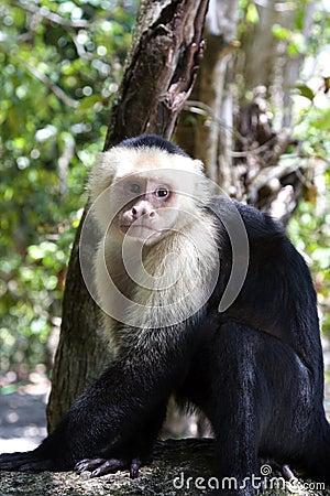 Free Capuchin Monkey VI Stock Photography - 9184742