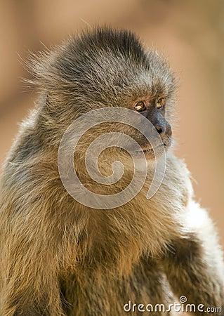 Capuchin Weeper Monkey
