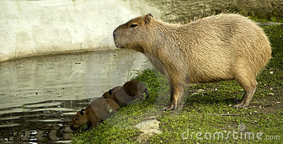 Capybara with cubs