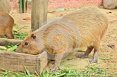 Capybara eat grass
