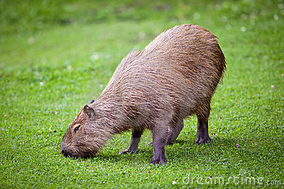 Capybara  grazing on green grass