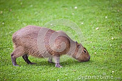 Capybara  grazing on green grass