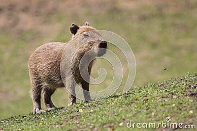 Capybara juvenile