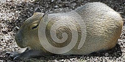 Capybara 8
